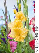 Купить «Гладиолус желтый (Gladiolus)», эксклюзивное фото № 7468909, снято 16 августа 2013 г. (c) Алёшина Оксана / Фотобанк Лори