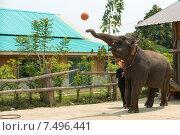 Слон кидает мячик на выступлении. Таиланд. (2015 год). Редакционное фото, фотограф Евгений Андреев / Фотобанк Лори