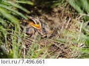 Птенцы в гнезде. Стоковое фото, фотограф Олег Брагин / Фотобанк Лори