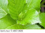 Купить «green leafs», фото № 7497909, снято 27 апреля 2009 г. (c) Syda Productions / Фотобанк Лори