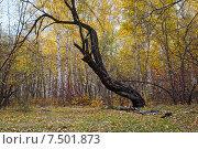Купить «Старое древо на опушке леса. Забайкальский край», эксклюзивное фото № 7501873, снято 26 сентября 2007 г. (c) Александр Щепин / Фотобанк Лори