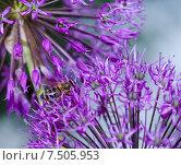 Фиолетовые цветы декоративного лука. Стоковое фото, фотограф Полина Соколова / Фотобанк Лори