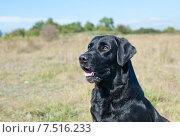 Купить «Черный лабрадор», фото № 7516233, снято 10 сентября 2014 г. (c) Татьяна Кахилл / Фотобанк Лори