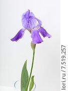 Купить «Фиолетовый ирис на светлом фоне», эксклюзивное фото № 7519257, снято 2 июня 2015 г. (c) Яна Королёва / Фотобанк Лори