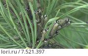 Купить «Гусеница соснового пилильщика. Гусеницы поедают хвою.», видеоролик № 7521397, снято 2 июня 2015 г. (c) Mike The / Фотобанк Лори