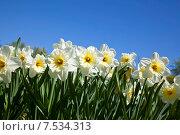 Купить «Белые нарциссы на фоне голубого неба», фото № 7534313, снято 4 мая 2012 г. (c) Наталья Волкова / Фотобанк Лори
