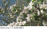 Купить «Ветка цветущей яблони. Мельба. Панорама направо. Slide Camera», видеоролик № 7534881, снято 20 мая 2015 г. (c) Mike The / Фотобанк Лори