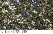 Купить «Цветущая яблоня. Мельба. Панорама направо. Slide Camera», видеоролик № 7534889, снято 20 мая 2015 г. (c) Mike The / Фотобанк Лори