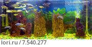 Купить «Разноцветные малавийские цихлиды. Рыбы из рода Cynotilapia», фото № 7540277, снято 25 декабря 2014 г. (c) Евгений Ткачёв / Фотобанк Лори