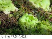 Купить «Жирянка (PinguIcula) - насекомоядное растение», фото № 7544429, снято 21 декабря 2012 г. (c) Татьяна Белова / Фотобанк Лори