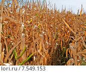 Кукурузное поле. Стоковое фото, фотограф Горбач Елена / Фотобанк Лори