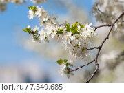 Ветка цветущей вишни крупно. Стоковое фото, фотограф Евгений Макеев / Фотобанк Лори