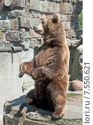 Купить «Бурый медведь в зоопарке», эксклюзивное фото № 7550621, снято 13 июня 2015 г. (c) Svet / Фотобанк Лори