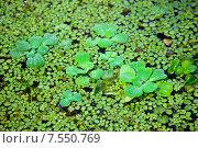 Купить «Болотная растительность на поверхности воды», фото № 7550769, снято 14 марта 2015 г. (c) Татьяна Белова / Фотобанк Лори