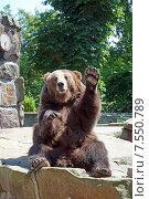 Купить «Бурый медведь привлекает к себе внимание, машет лапой», эксклюзивное фото № 7550789, снято 13 июня 2015 г. (c) Svet / Фотобанк Лори