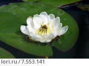 Купить «Белая кувшинка, или водяная лилия (лат. Nymphaea alba)», эксклюзивное фото № 7553141, снято 14 июня 2015 г. (c) Елена Коромыслова / Фотобанк Лори