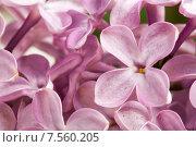 Купить «Розовые цветы сирени, макро», фото № 7560205, снято 10 июня 2015 г. (c) Евдокимов Максим / Фотобанк Лори