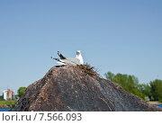 Купить «Чайка, сидящая в гнезде», фото № 7566093, снято 29 мая 2015 г. (c) Алина Сбитнева / Фотобанк Лори