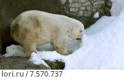 Купить «The polar bear (Ursus maritimus)», видеоролик № 7570737, снято 31 августа 2011 г. (c) BestPhotoStudio / Фотобанк Лори