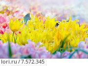 Купить «Желтые тюльпаны в весенней оранжерее», фото № 7572345, снято 14 марта 2015 г. (c) Татьяна Белова / Фотобанк Лори