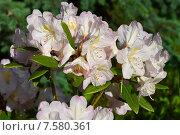 Купить «Олеандр обыкновенный (лат. Nerium oleander)», эксклюзивное фото № 7580361, снято 10 июня 2015 г. (c) lana1501 / Фотобанк Лори