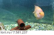 Купить «Рыба попугай крупным планом», видеоролик № 7581237, снято 25 мая 2019 г. (c) Евгений Ткачёв / Фотобанк Лори