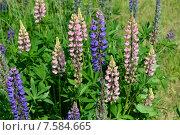 Купить «Люпин многолистный (лат. Lupinus polyphyllus)», эксклюзивное фото № 7584665, снято 14 июня 2015 г. (c) lana1501 / Фотобанк Лори