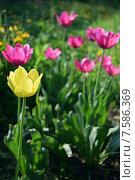 Желтый тюльпан. Стоковое фото, фотограф Ксения Ларкина / Фотобанк Лори