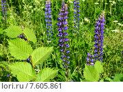 Купить «Люпин многолистный (лат. Lupinus polyphyllus)», эксклюзивное фото № 7605861, снято 14 июня 2015 г. (c) lana1501 / Фотобанк Лори