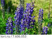 Купить «Люпин многолистный (лат. Lupinus polyphyllus)», эксклюзивное фото № 7606053, снято 14 июня 2015 г. (c) lana1501 / Фотобанк Лори