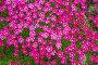 Камнеломка Арендса, фото № 7606485, снято 24 июня 2015 г. (c) Наталья Осипова / Фотобанк Лори