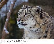 Купить «Снежный барс», фото № 7607585, снято 1 апреля 2014 г. (c) Vasily Smirnov / Фотобанк Лори