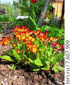 Купить «Примула ушковая (лат. Auricula, Auriculastrum)», эксклюзивное фото № 7607909, снято 22 мая 2015 г. (c) lana1501 / Фотобанк Лори