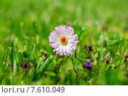 Розовая маргаритка на зеленом поле. Стоковое фото, фотограф Andrei Nekrassov / Фотобанк Лори