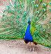 Красивый павлин крупным планом, фото № 7613613, снято 26 июня 2015 г. (c) Екатерина Овсянникова / Фотобанк Лори