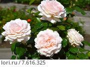 Роза чайно-гибридная Свит Лав (лат. Sweet Love) Стоковое фото, фотограф lana1501 / Фотобанк Лори
