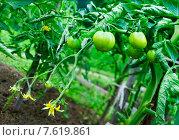 Купить «Зеленые помидоры на грядке (лат. Solánum lycopérsicum)», фото № 7619861, снято 29 июня 2015 г. (c) Зобков Георгий / Фотобанк Лори