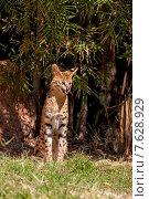 Купить «Дикая кошка Сервал в природе», эксклюзивное фото № 7628929, снято 30 ноября 2009 г. (c) Андрей Дегтярёв / Фотобанк Лори