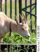 Купить «Коза ест траву», фото № 7638085, снято 14 июня 2015 г. (c) Марина Орлова / Фотобанк Лори