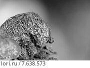 Купить «Гриб крепидот мягкий (Crepidotus mollis)», фото № 7638573, снято 13 июня 2015 г. (c) Евгений Ткачёв / Фотобанк Лори