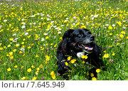 Купить «Собака лежащая на цветущем, зеленой поляне», фото № 7645949, снято 23 мая 2015 г. (c) Татьяна Кахилл / Фотобанк Лори