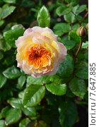 Купить «Кустарниковая роза Жорж Данжан (лат. Georges Denjean)», эксклюзивное фото № 7647885, снято 5 июля 2015 г. (c) lana1501 / Фотобанк Лори