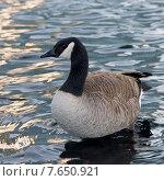 Купить «Canada goose (Branta canadensis) swimming in lake, Vancouver, British Columbia, Canada», фото № 7650921, снято 1 апреля 2013 г. (c) Ingram Publishing / Фотобанк Лори