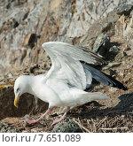 Купить «Seagull at coast, Kenora, Lake of The Woods, Ontario, Canada», фото № 7651089, снято 18 июля 2013 г. (c) Ingram Publishing / Фотобанк Лори