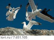 Купить «Double-Crested Cormorant (Phalacrocorax auritus) and Seagulls on the coast, Kenora, Lake of The Woods, Ontario, Canada», фото № 7651105, снято 18 июля 2013 г. (c) Ingram Publishing / Фотобанк Лори