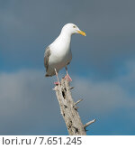 Купить «Seagull perching on tree stump, Kenora, Lake of The Woods, Ontario, Canada», фото № 7651245, снято 18 июля 2013 г. (c) Ingram Publishing / Фотобанк Лори