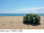 Цветущий белым куст на крымском побережье Черного моря. Стоковое фото, фотограф Анатолий Хвисюк / Фотобанк Лори