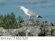Купить «Seagull calling at coast, Lake of The Woods, Ontario, Canada», фото № 7652529, снято 18 июля 2013 г. (c) Ingram Publishing / Фотобанк Лори