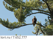 Купить «Eagle perching on a tree, Lake of The Woods, Ontario, Canada», фото № 7652777, снято 16 июля 2013 г. (c) Ingram Publishing / Фотобанк Лори