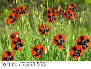Цветущие красные маки. Стоковое фото, фотограф Алексей Маринченко / Фотобанк Лори